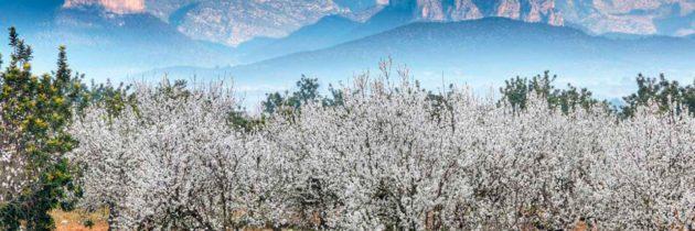 Almendros en flor por Mallorca